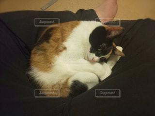 猫,動物,かわいい,ペット,人物,リラックス,癒し,三毛猫,家猫,ネコ,もふもふ,ネコ科の動物