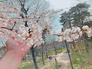 女性,花,春,屋外,手,樹木,桜の花,さくら