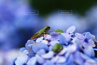アジサイと大人になり立てのカエルの写真・画像素材[1978606]