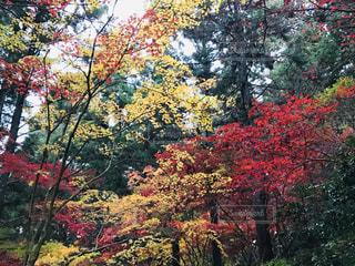 木の赤い花の写真・画像素材[1652355]