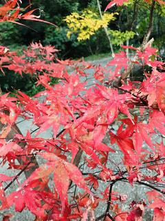 木の赤い花が付いている植物の写真・画像素材[1652361]