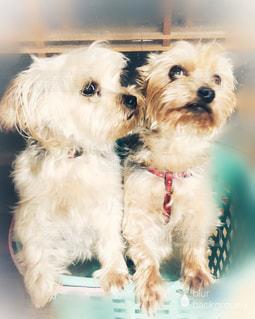 小さな白い犬の写真・画像素材[1602499]