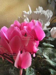 シクラメンの花の写真・画像素材[1793403]