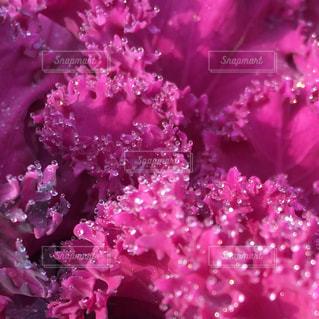 葉牡丹に朝露の写真・画像素材[1793426]