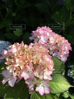 あじさいの花の写真・画像素材[1812253]