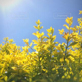 黄色い新芽の写真・画像素材[1826118]