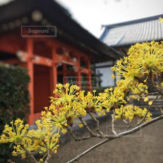 花,春,黄色,樹木,イエロー,寺,黄,yellow,サンシュユ,サンシュユの花
