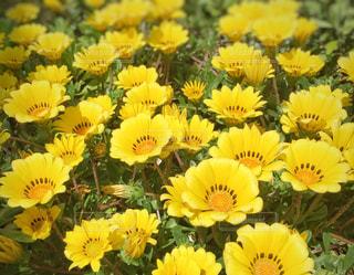 花,夏,植物,黄色,イエロー,黄,yellow,福岡県,ガザニア