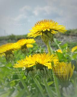 風景,花,春,屋外,植物,黄色,田舎,景色,田んぼ,たんぽぽ,イエロー,黄,蒲公英,yellow,タンポポ,あぜ,たんぼ,畦