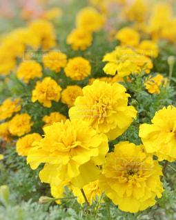 花,夏,庭,屋外,植物,黄色,ガーデニング,花壇,イエロー,黄,マリーゴールド,yellow