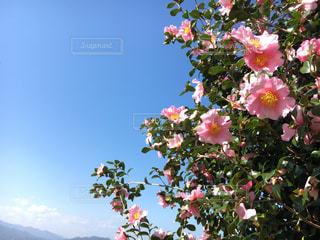 青い空と山茶花の写真・画像素材[1863811]