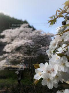 山桜の写真・画像素材[1963321]