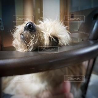 椅子の上でリラックスしている愛犬の写真・画像素材[2007464]