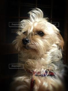 犬,動物,屋内,室内,ペット,いぬ,愛犬,ヨークシャーテリア