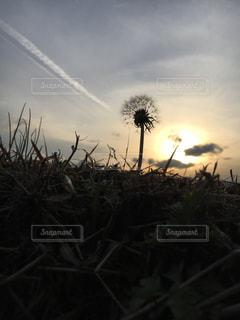 夕焼けとたんぽぽの写真・画像素材[2017753]