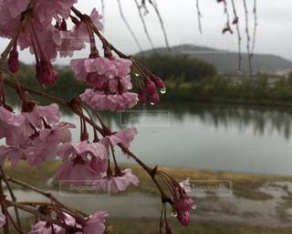 雨の日の枝垂れ桜の写真・画像素材[2209103]