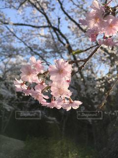 満開の桜の写真・画像素材[3079164]