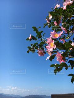 青空にピンクの花が咲いている山茶花の枝の写真・画像素材[3290829]