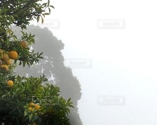 柚子の木の写真・画像素材[3358649]