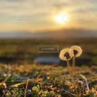 夕陽に透き通って輝くタンポポの綿毛の写真・画像素材[4873580]