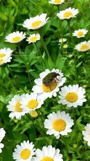 自然,花,春,花畑,屋外,植物,ガーデニング,白い花,虫,花壇,昆虫,5月,五月,草木,日中,ナナホシテントウ,ハナムグリ,ノースポール,花と虫