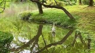 自然,鳥,屋外,森,歩く,散歩,水面,池,野鳥,生き物,お散歩,鷺,日中,アオサギ,さぎ,1羽