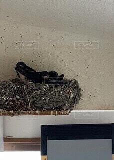 動物,鳥,屋内,かわいい,壁,リラックス,元気,可愛い,渡り鳥,野鳥,生活,生き物,兄弟,なごむ,成長,ちょうだい,餌やり,一生懸命,ツバメ,子育て,雛,お腹すいた,燕,親鳥,つばめ,燕の巣,早く早く