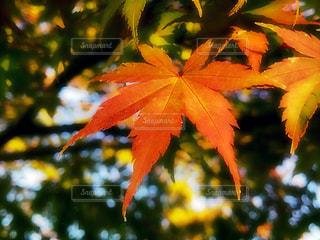 琵琶湖の秋の写真・画像素材[1611517]