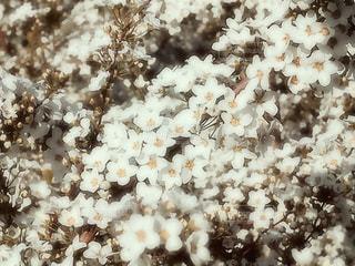 花,春,雪,屋外,大阪,白,小さい,明るい,ホワイト,緑地公園,草木,ユキヤナギ,早春,豊中