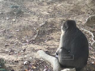 猿の写真・画像素材[1665532]