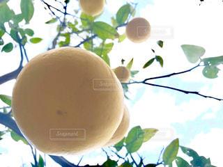 空,冬,黄色,フルーツ,樹木,果実,和歌山,珍しい,yellow,蜜柑,ミカン,希少,南方熊楠,安藤みかん,紀伊田辺