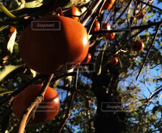 秋,庭,フルーツ,果物,樹木,果実,午後,柿,persimmon,橙色