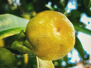 冬,京都,黄色,フルーツ,果物,樹木,みかん,果実,北野天満宮,ビタミンC,yellow,蜜柑,ミカン