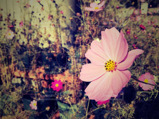 秋桜の写真・画像素材[1791350]