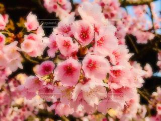 桜の写真・画像素材[1791374]