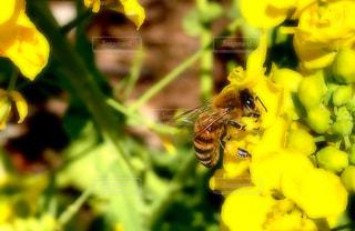 ミツバチの食事の写真・画像素材[1824610]