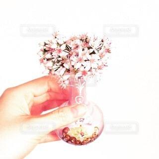 花,花瓶,女子,手持ち,ハート,人物,癒し,イタリア,ポートレート,ライフスタイル,手元,ガール,小瓶,金のなる木,花のある生活,ベビーピンク,インスタ映え,おうち時間