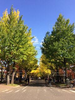 自然,公園,秋,紅葉,北海道,イチョウ,並木道,札幌,大学,通り,北海道大学,イチョウ並木