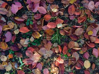 自然,公園,秋,紅葉,葉っぱ,もみじ,北海道,落ち葉,イチョウ,地面,札幌