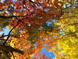 自然,空,公園,秋,紅葉,木,葉っぱ,もみじ,北海道,イチョウ,札幌