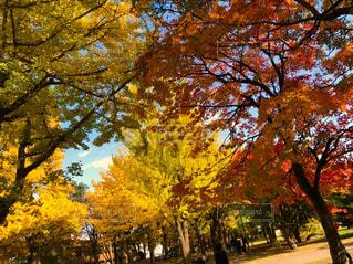 自然,空,公園,秋,紅葉,木,葉っぱ,もみじ,北海道,落ち葉,イチョウ,札幌,大学,北海道大学