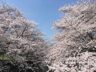 青空と桜の写真・画像素材[1832137]