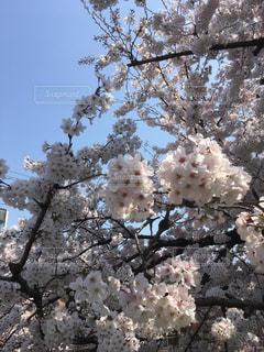 花,春,桜,ピンク,青空,花見,サクラ