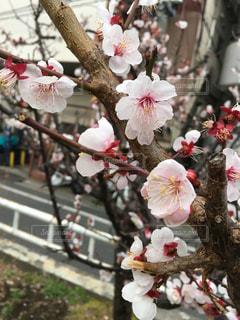 花,春,桜,ピンク,散歩,花見,サクラ