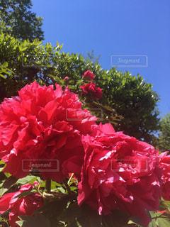 花,春,屋外,赤,青空,晴天,レッド