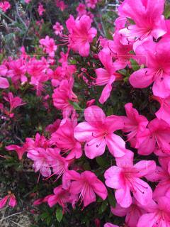 公園,花,春,屋外,ピンク,散歩,ツツジ