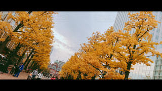 紅葉,イチョウ,札幌,イチョウ並木