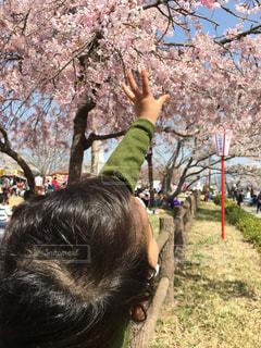 春,桜,屋外,花見,こども,山梨,ライフスタイル,男児,大法師公園