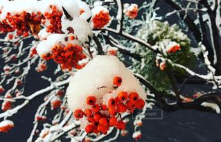 自然,雪,北海道,季節,雪景色,景色,樹木,ベリー,装飾,雪化粧,四季,インスタ映え,おんこ