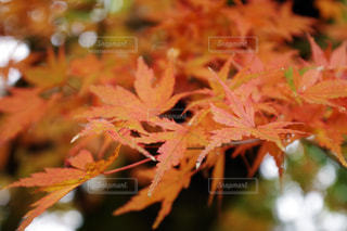 秋,紅葉,屋外,赤,もみじ,箱根,草木